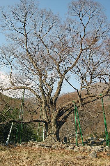 성흥사 곁의 느티나무