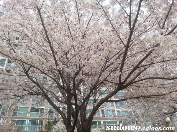 집 근처 산책로 벚꽃 구경