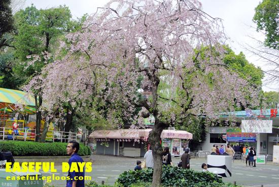 ['13 TOKYO] ⓔ 벚꽃을 만끽하러간(?) 우에노..