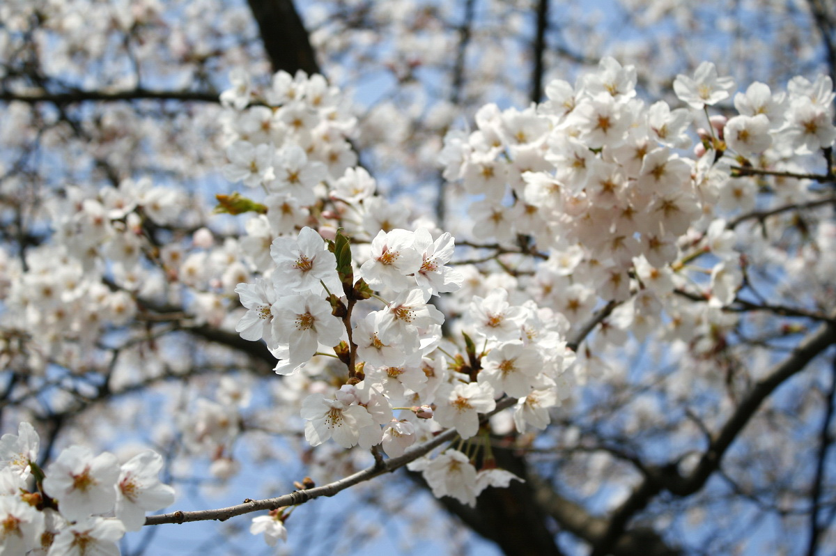 호수공원 벚꽃