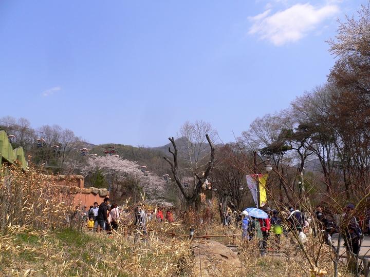 벚꽃 만개한 서울대공원 下편