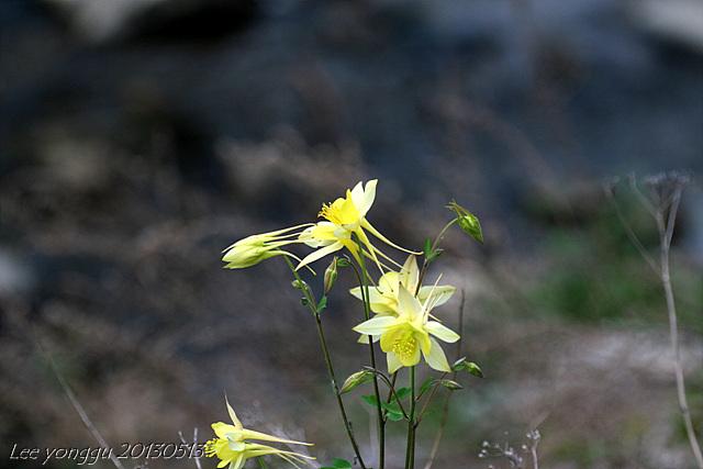 서양매발톱꽃