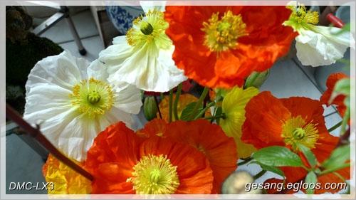 3월의 특별한 축하용 꽃, 개양귀비