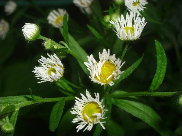 오므린 개망초 꽃 잎, 소나기, 거미줄
