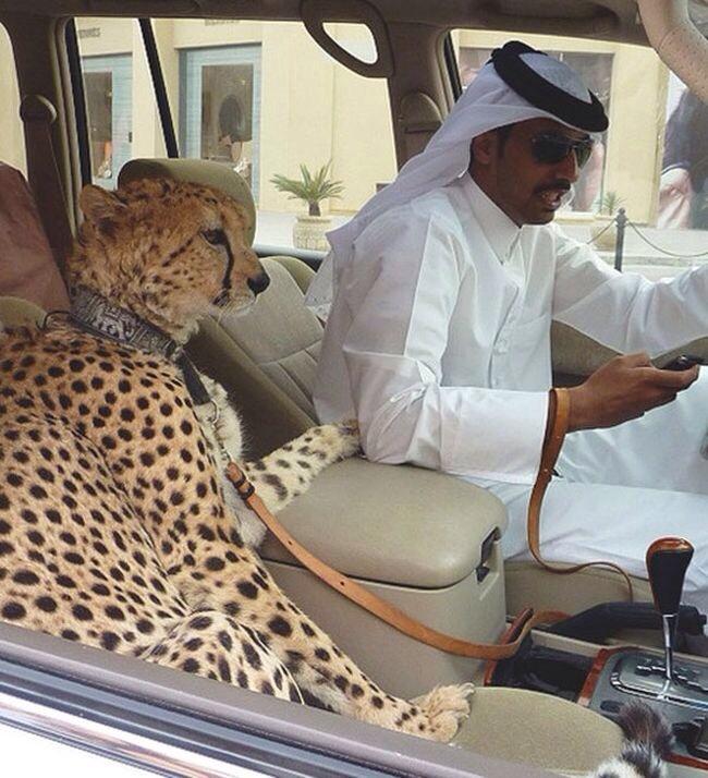 두바이 부자가 기르는 냥이ㅋㅋㅋㅋㅋㅋㅋㅋㅋ