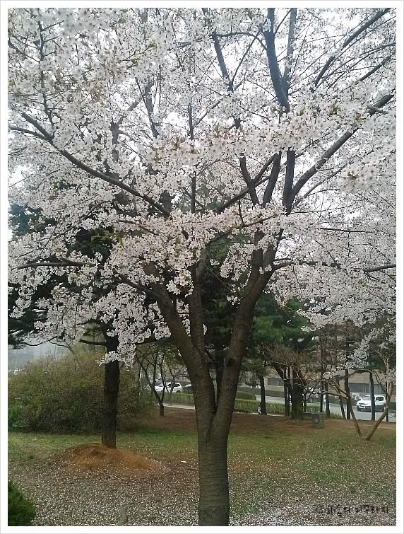 성균관 대학교-벚꽃