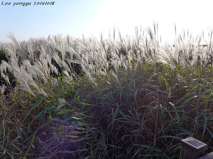 금강 갈대밭