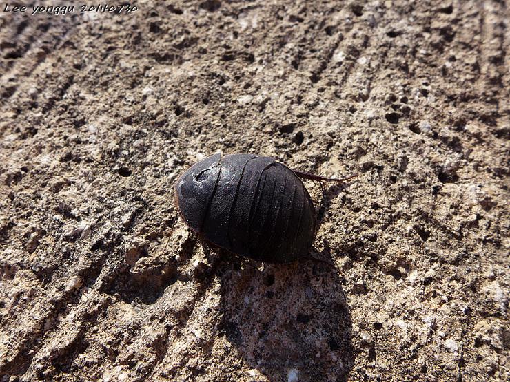 바퀴벌레처럼 생긴 벌레