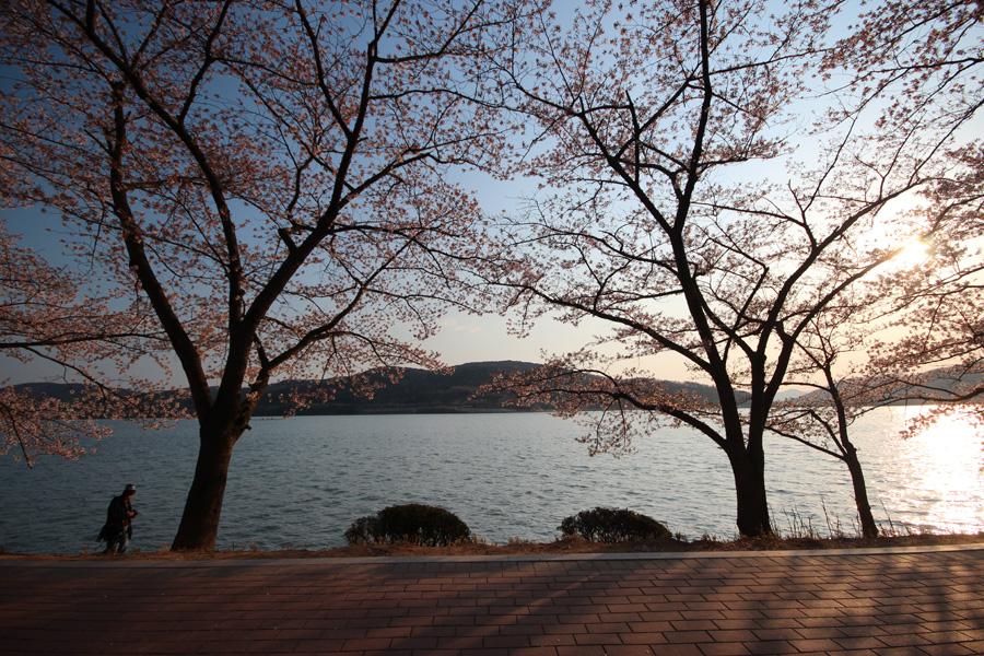 보문단지 벚꽃