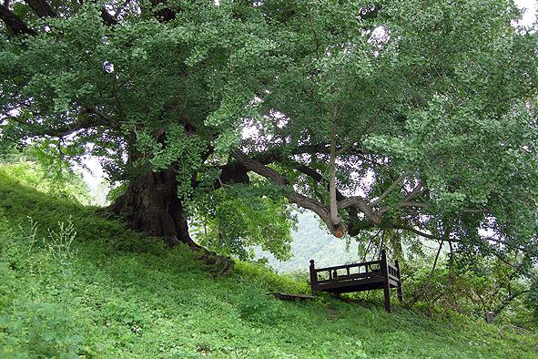 청도 하평리 은행나무