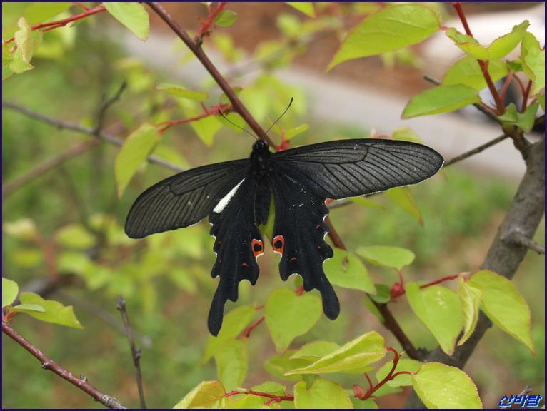 긴꼬리제비나비 수컷