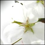 사진 / 2016년 하남 벚꽃