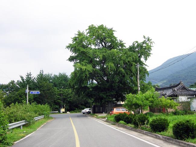 밀양 후사포리 은행나무