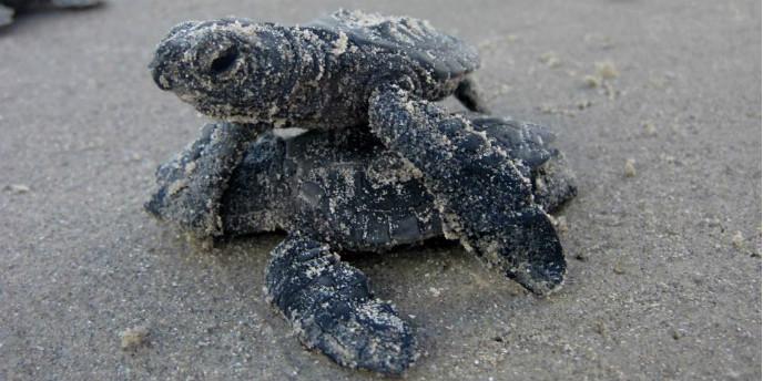 부화한 아기 바다거북들을 보고 왔다 - 파드레 섬