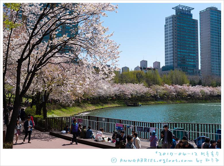 [석촌호수] 흩날리는 벚꽃과 스위트 스완