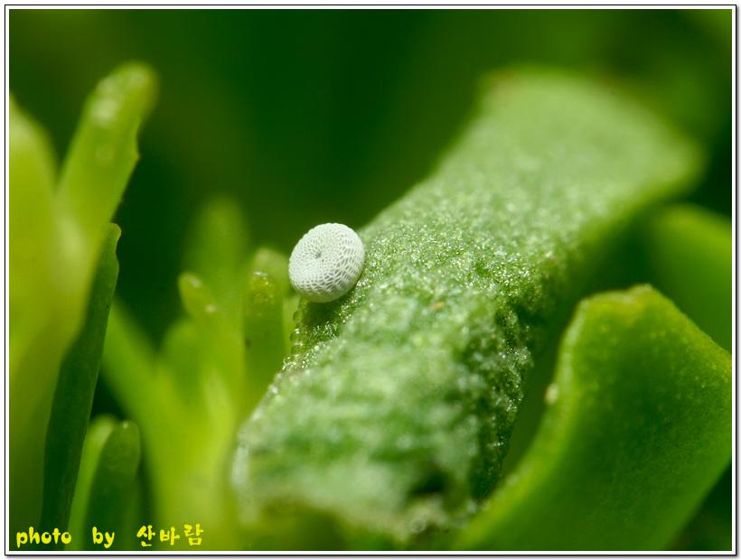 작은홍띠점박이푸른부전나비 알