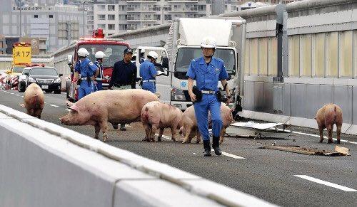오늘 이케부쿠로 근처 한신고속도로에서 돼지운송..
