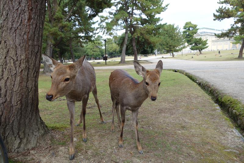 일본 간사이 #11 이상한 나라공원의 사슴들을 보라