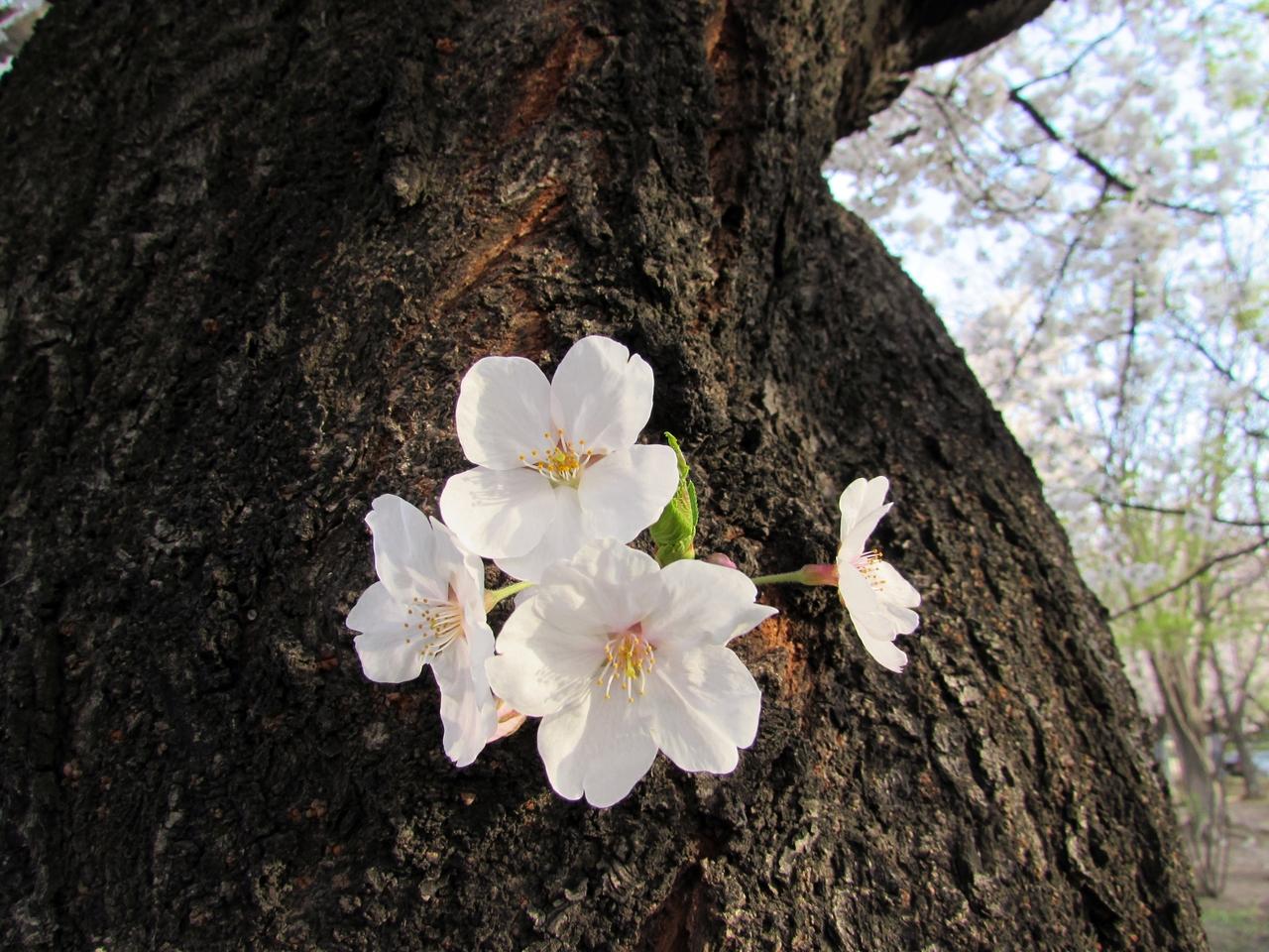 2018년 4월 초의 벚꽃놀이