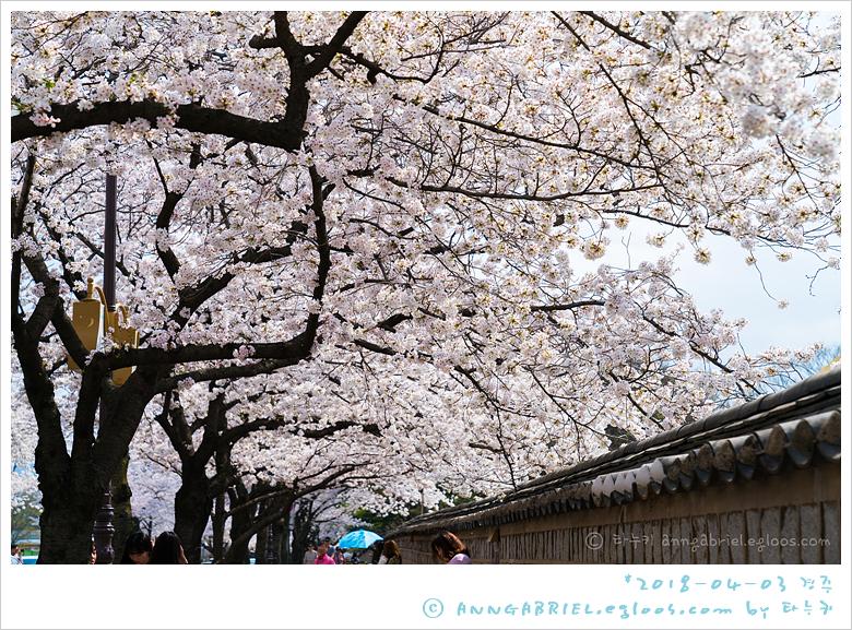 [경주] 분홍빛 대릉원 돌담 벚꽃길