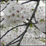사진 / 2018년 벚꽃(하남/구의)