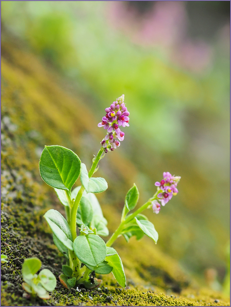 병아리풀 꽃